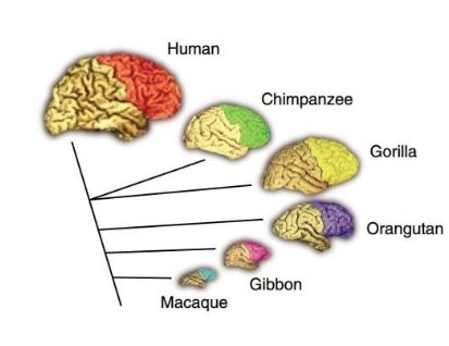 Diagram of various mammalian brains